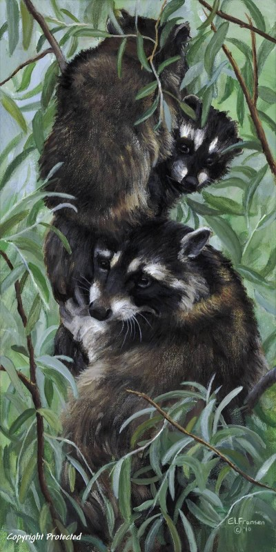 Raccoons_resized